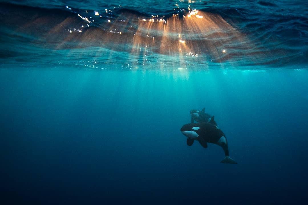 Orque résidente du sud