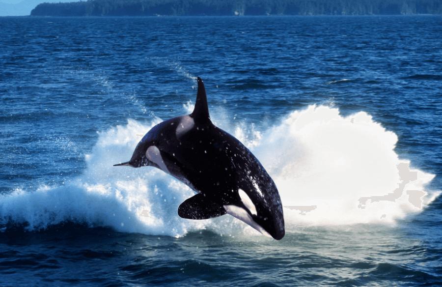 Orque saut Canada