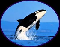 Rencontrer les orques