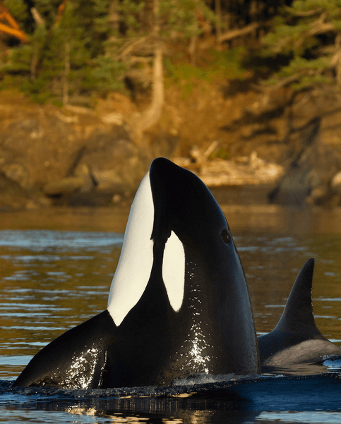 Reproduction orque dans la mer des Salish