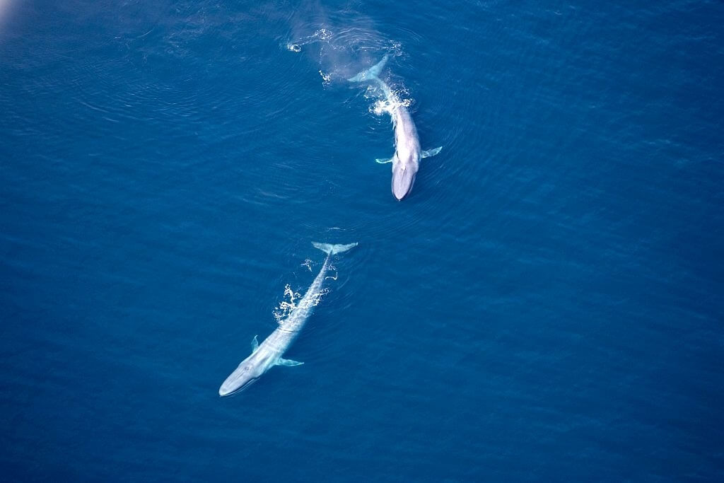 2 baleines bleues
