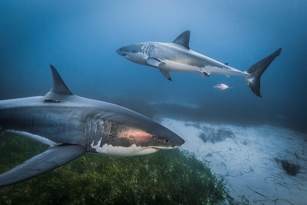 2 requins blancs