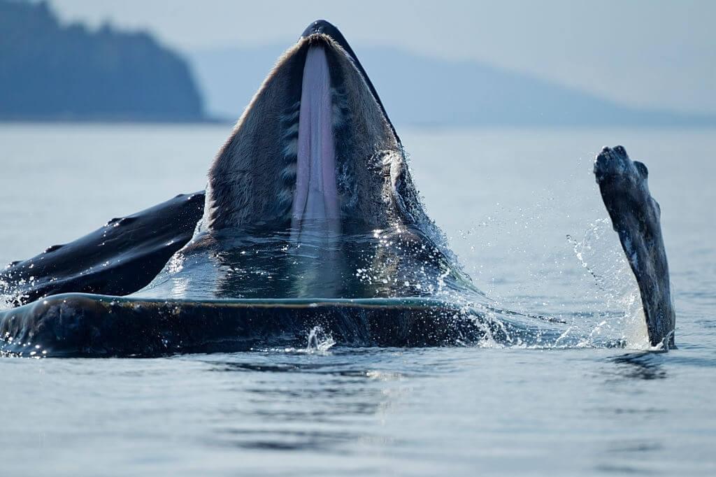 La Baleine à Bosse Boit-elle De L'eau De Mer