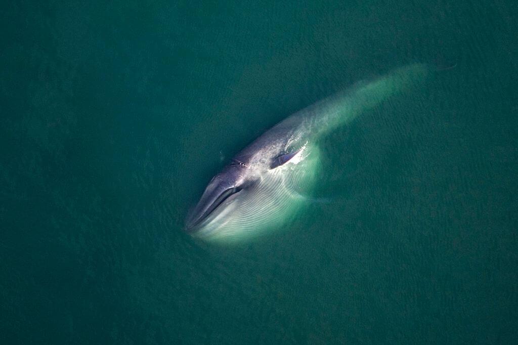 Baleine bleue en mer de Cortez