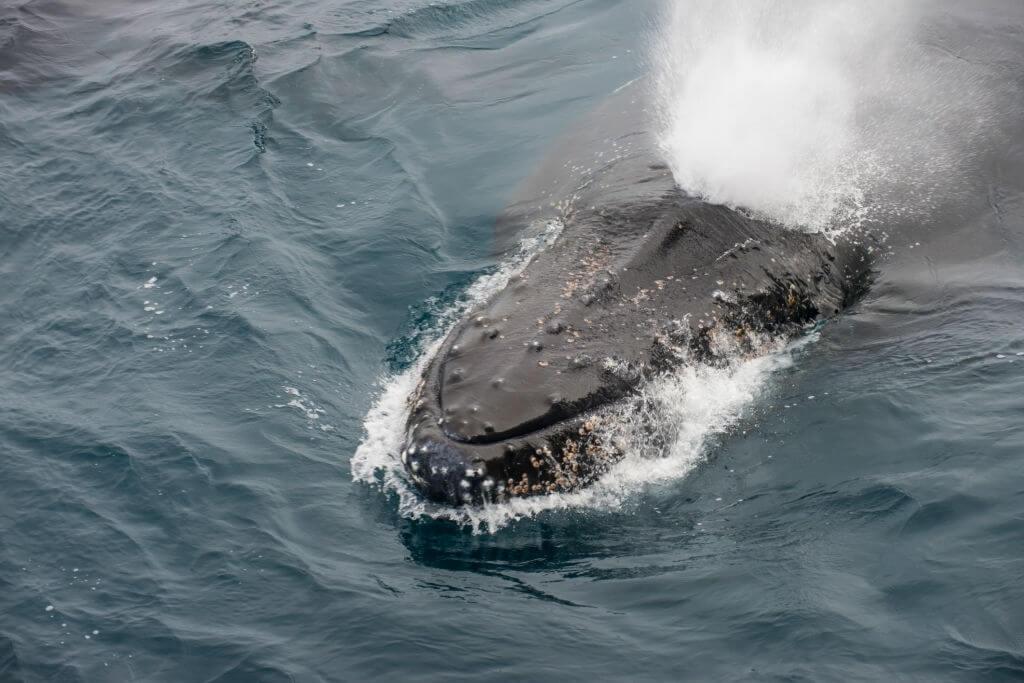 Comment respire la baleine par son évent