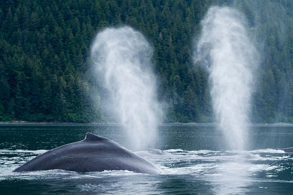 Comment respire la baleine