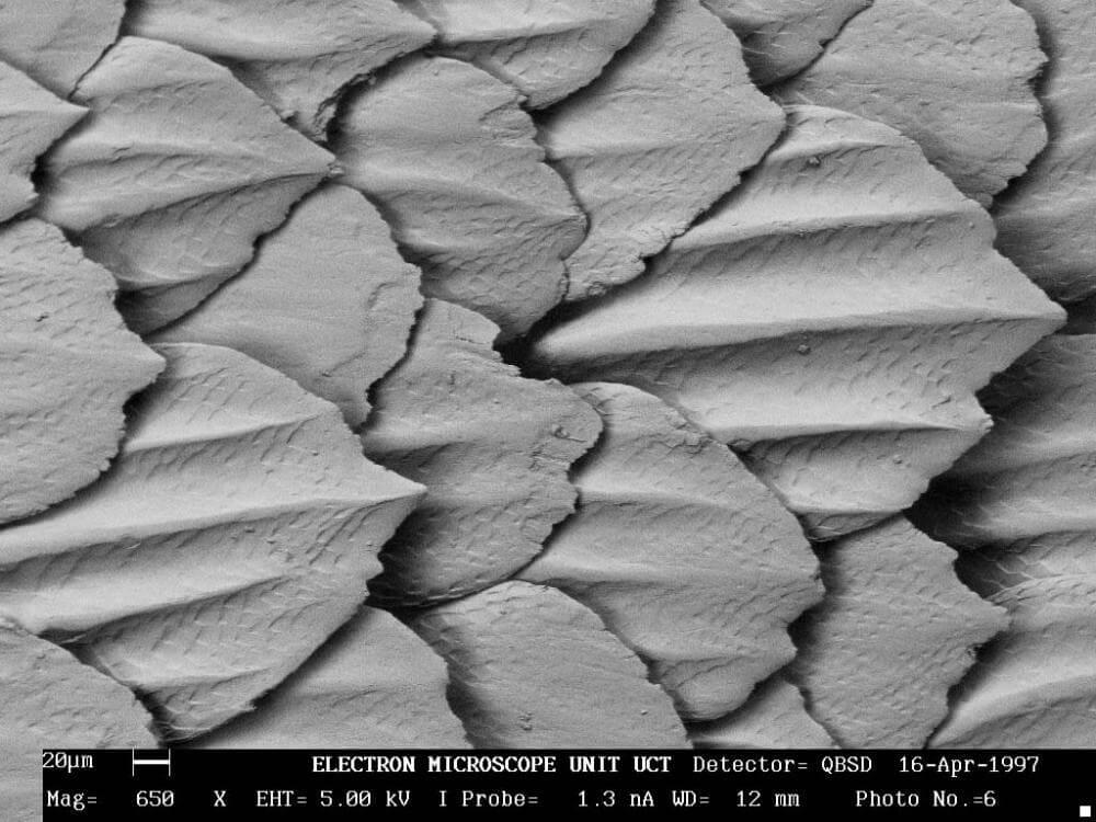 Denticules peau du requin