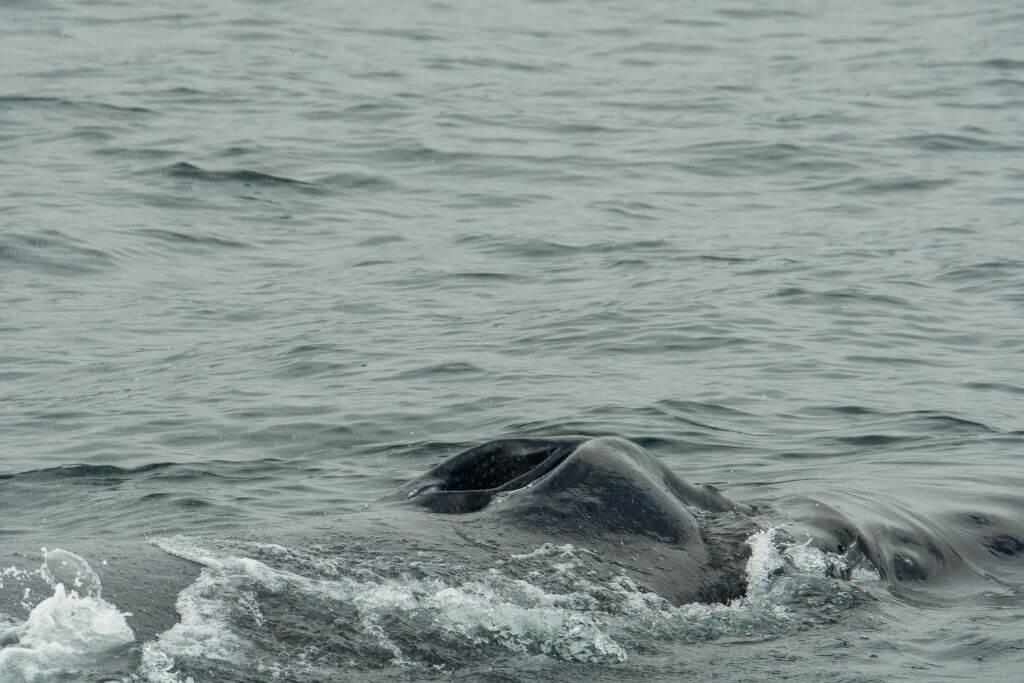 Évent baleine à bosse