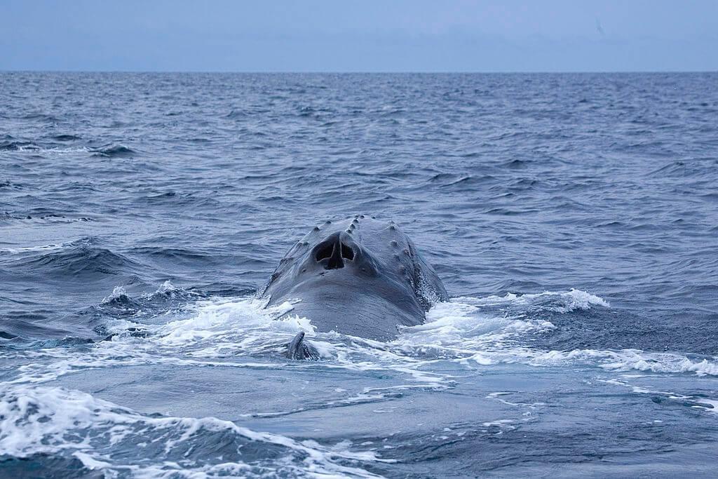 Évent baleine