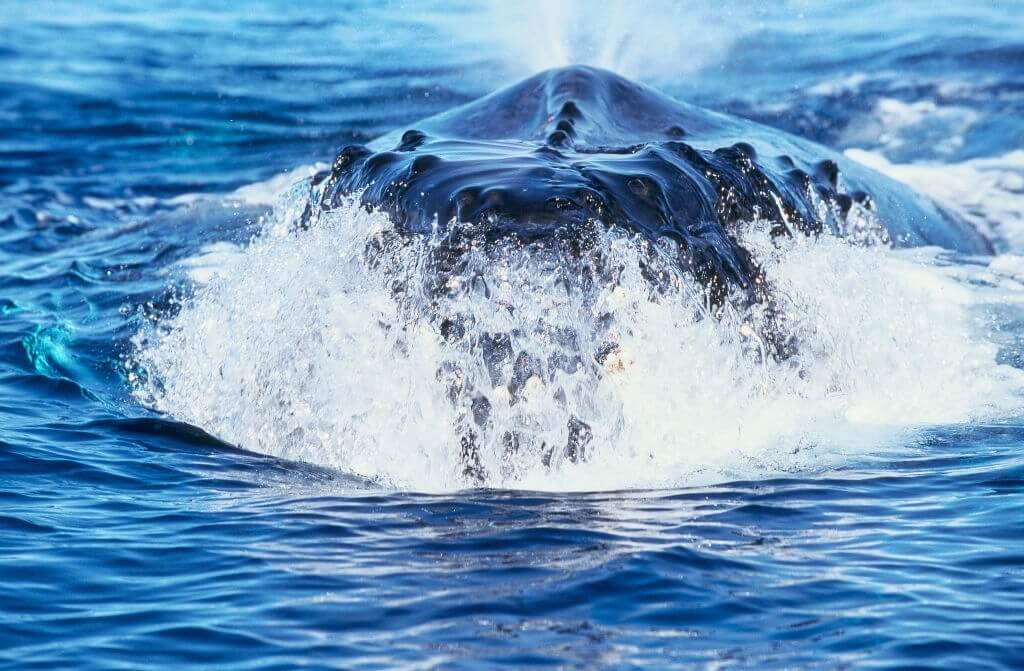 Évents baleine