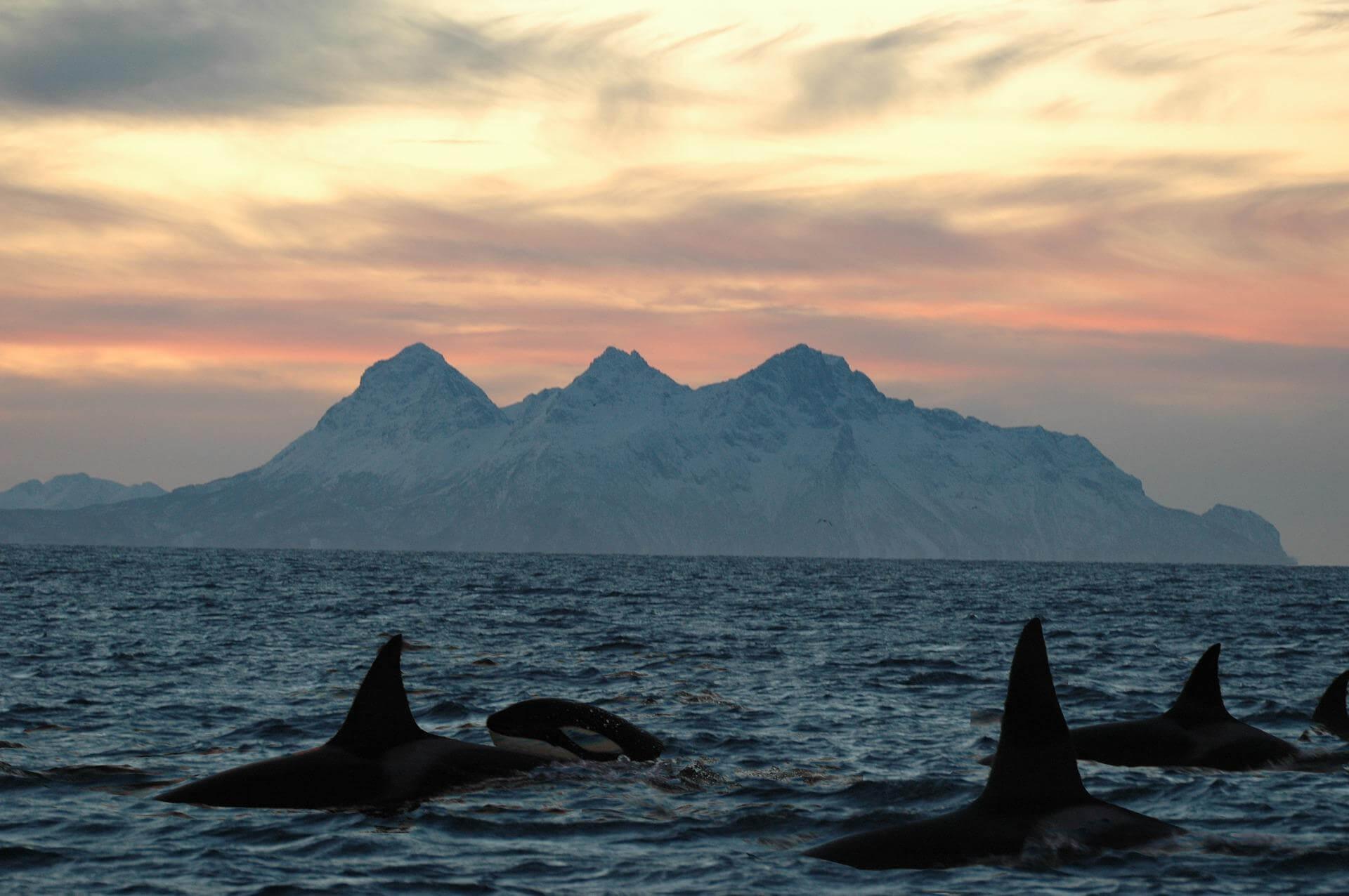 Groupe d'orques en sommeil