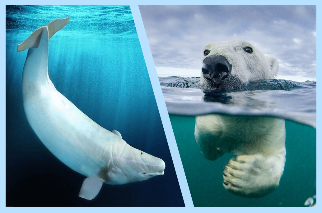 Le Beluga Versus Ours Polaire