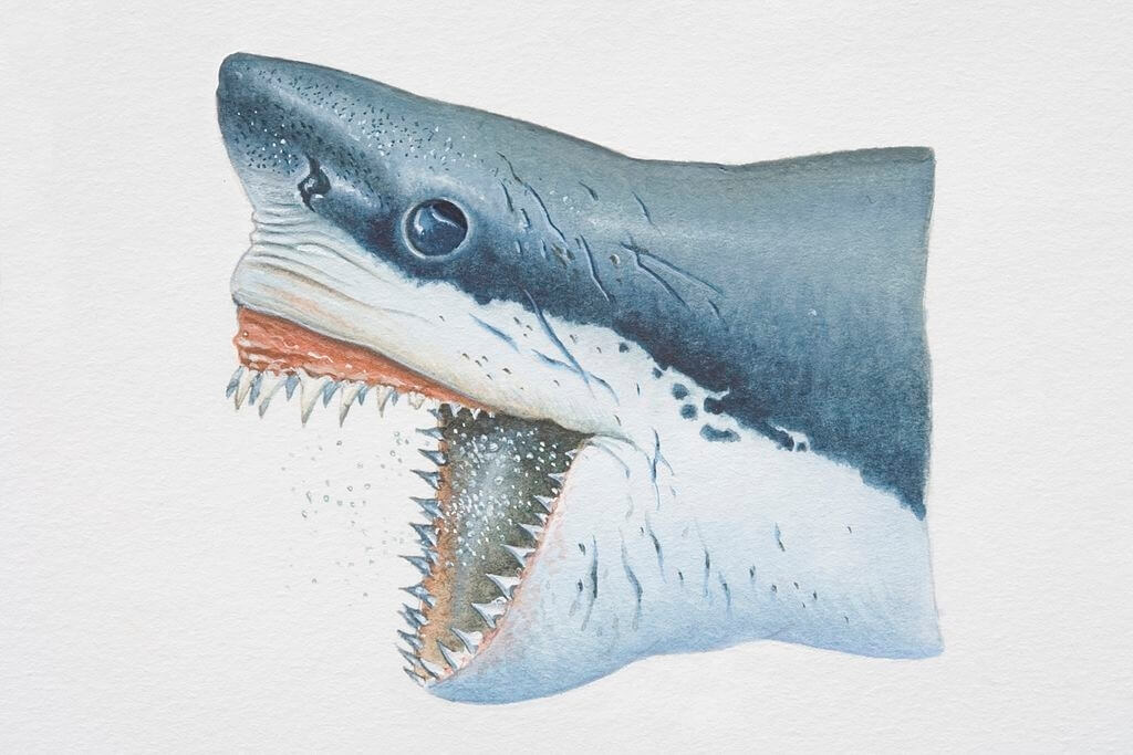 Mâchoire de requin
