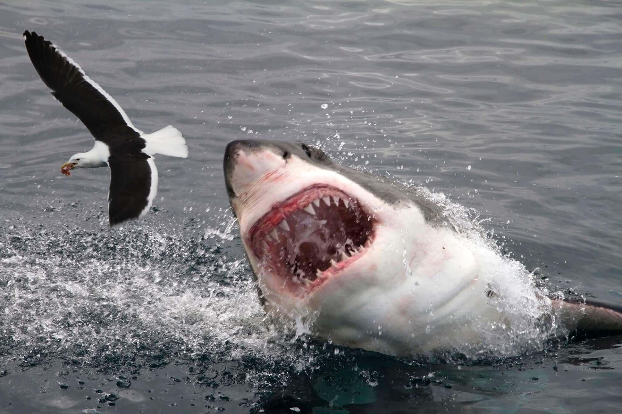 Morsure De Requin : Comment La Mâchoire Se Détache Du Crâne