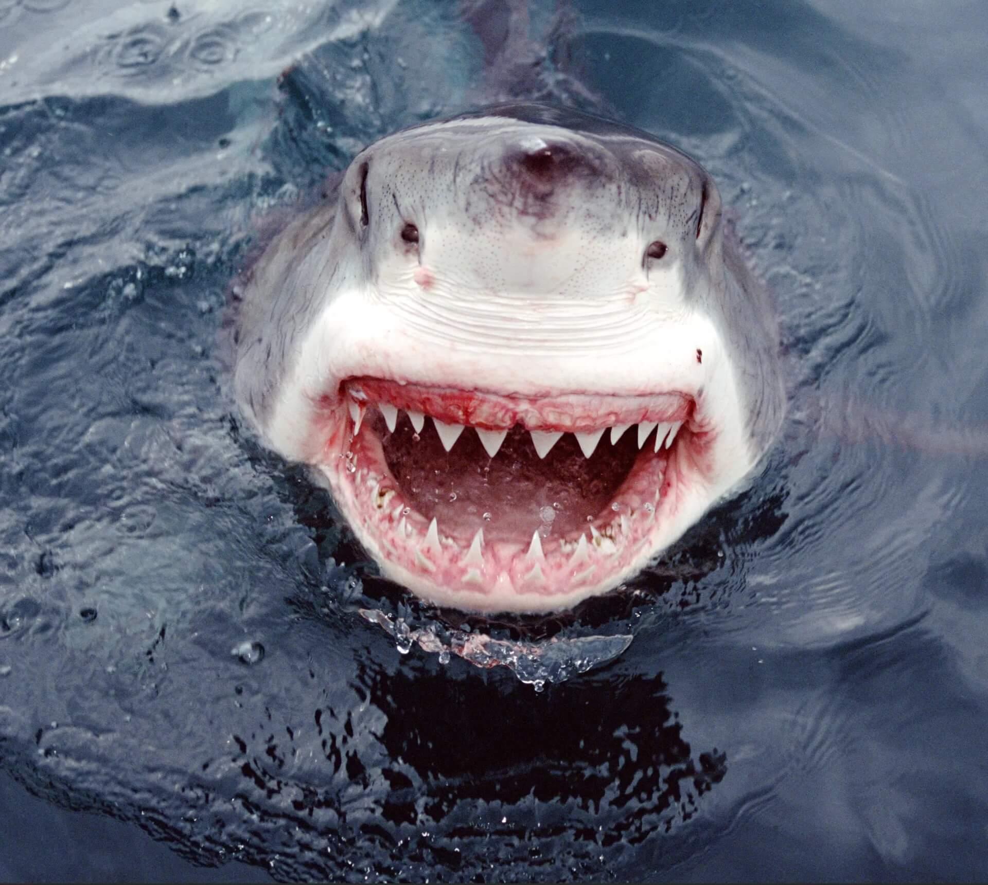 Morsure du requin blanc