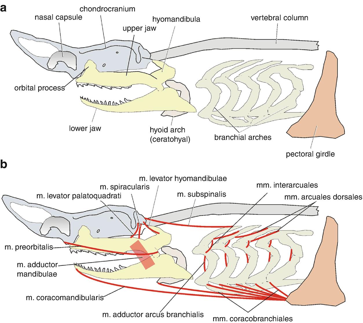 Muscles machoire requin
