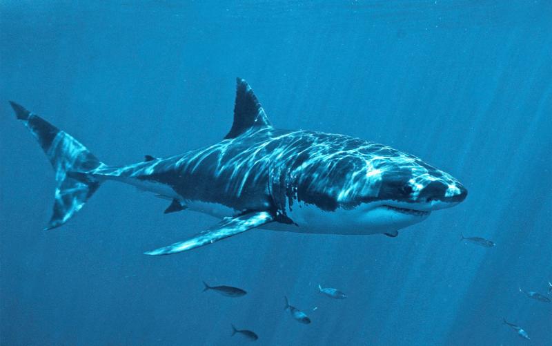 Peau Du Requin Blanc