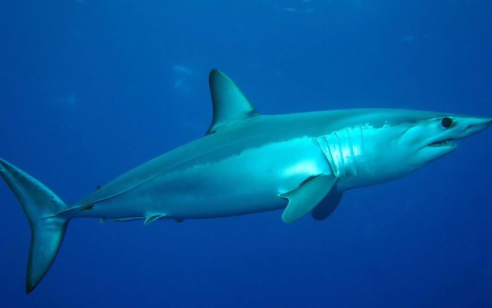 Peau du requin mako