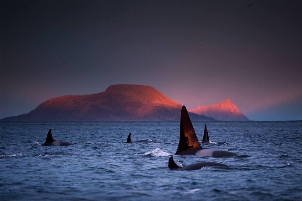 Pod d'orques en sommeil