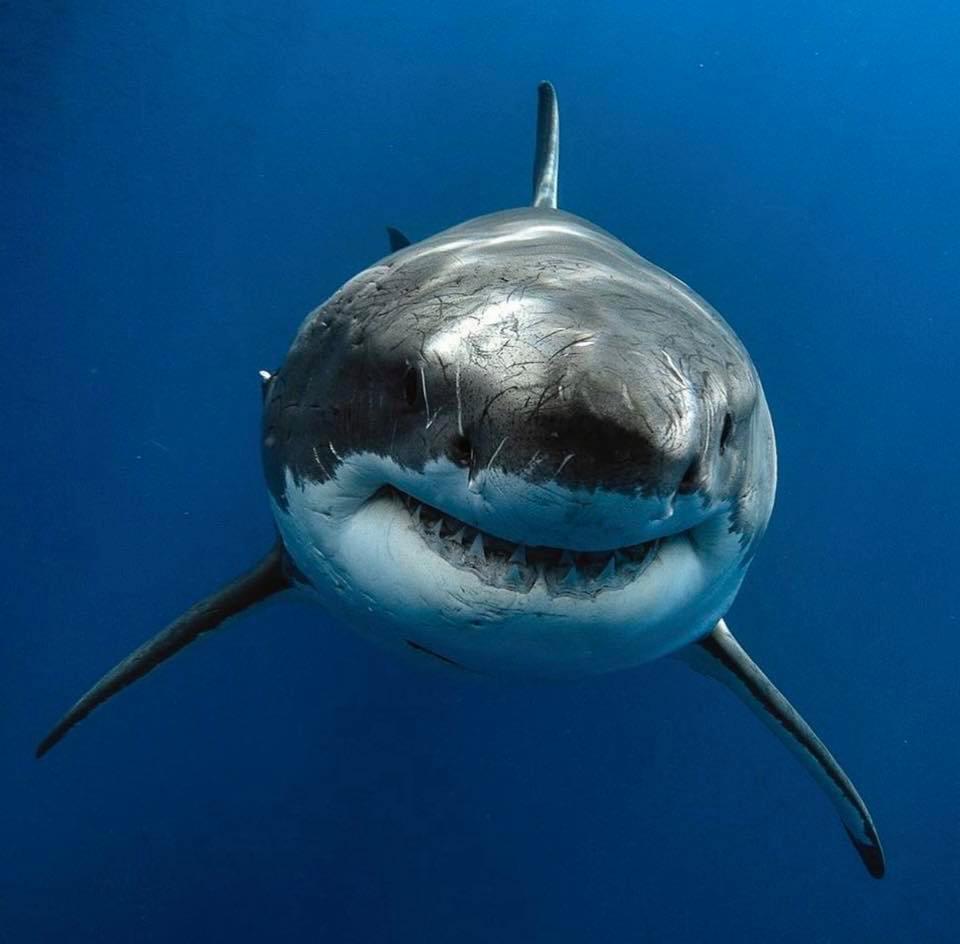 Requin blanc de face