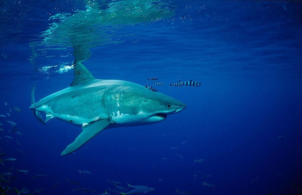 Requin blanc en plongée