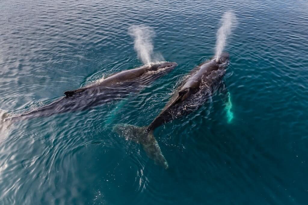Respiration baleine à bosse