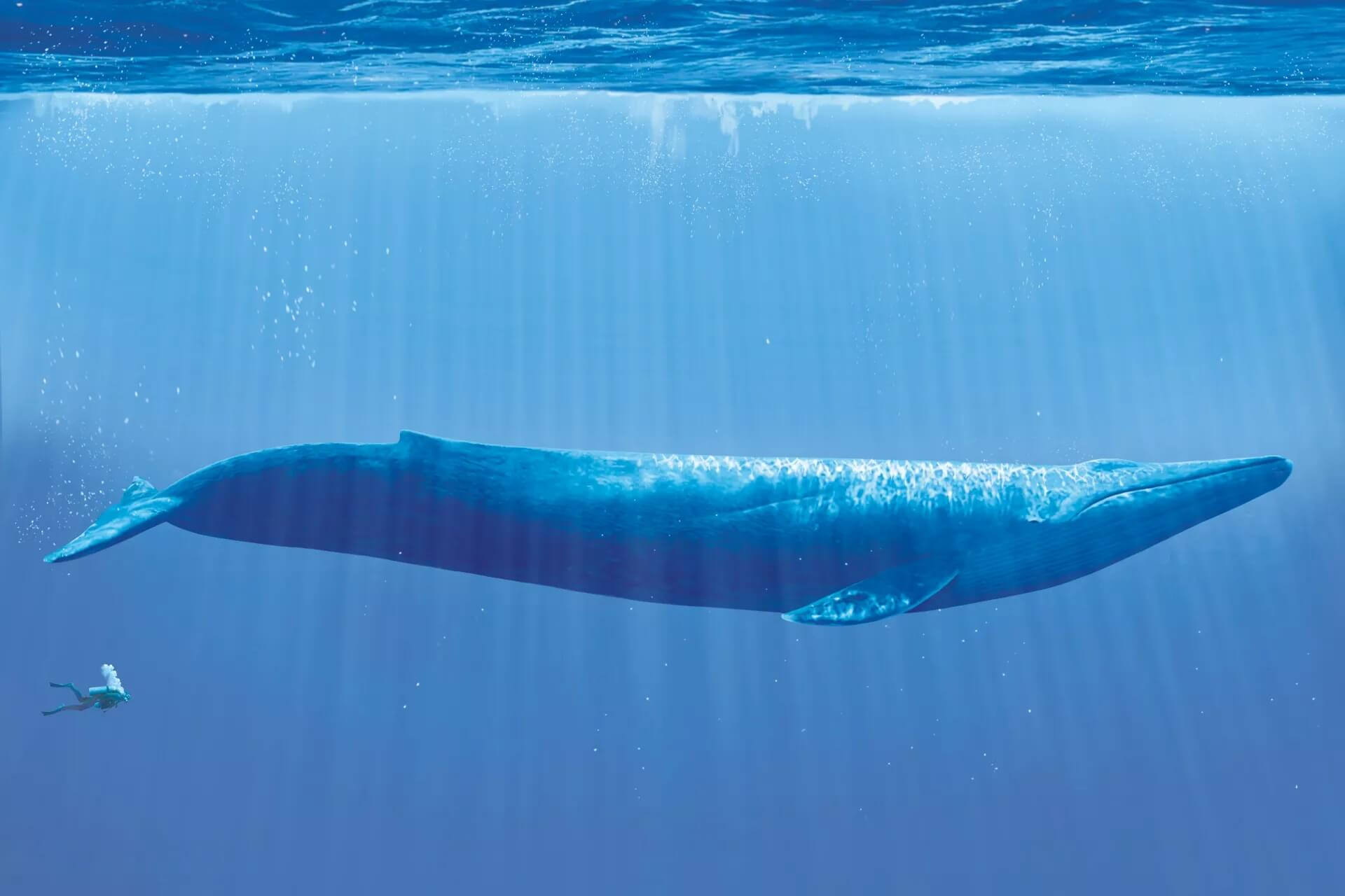 Taille baleine bleue