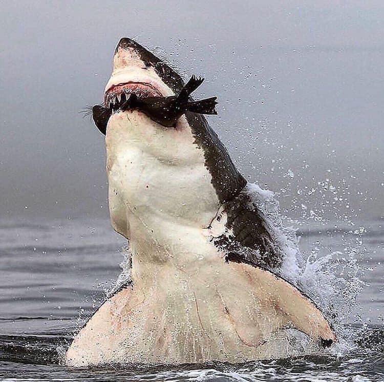 Ventre du requin blanc pendant la brèche