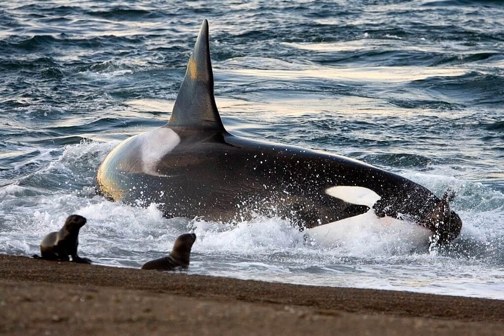 Attaque d'orque sur la plage