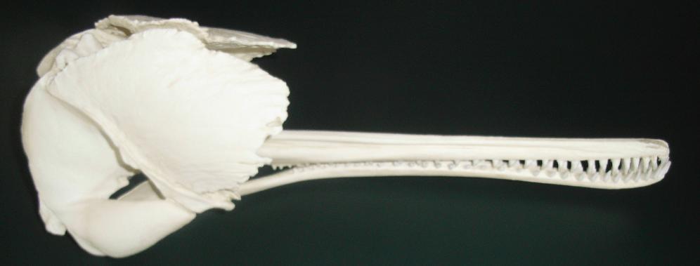 Crâne dauphin platanista gangetica