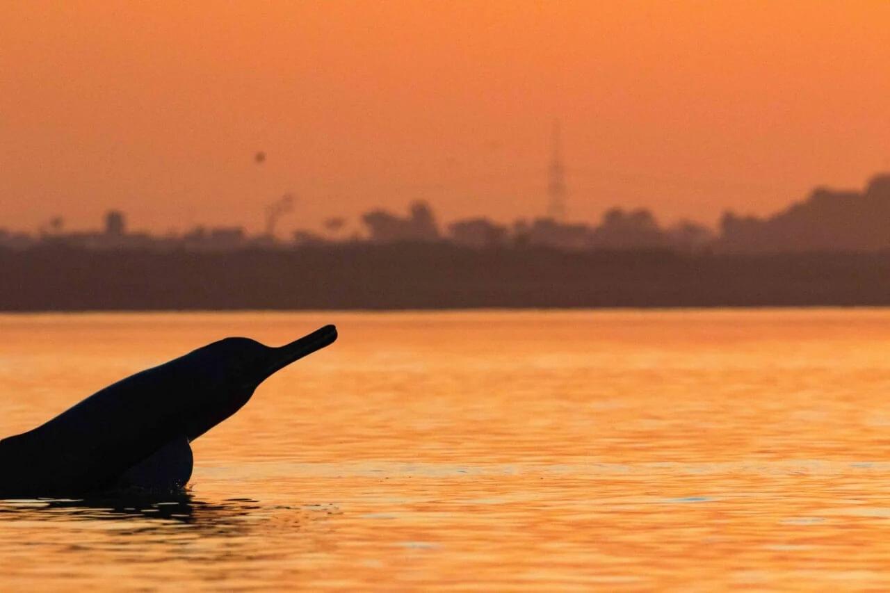 Dauphin du Gange au coucher du soleil