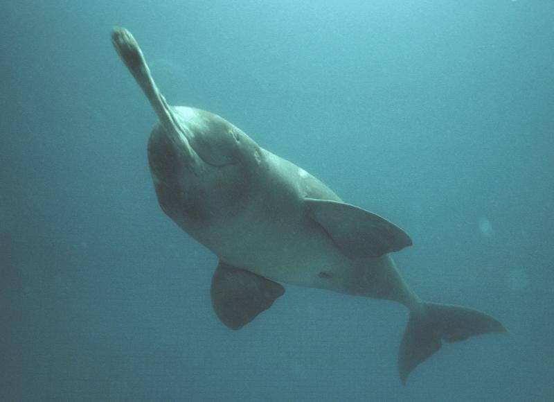 Dauphin du Gange en plongée