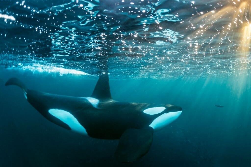 Écotype orque