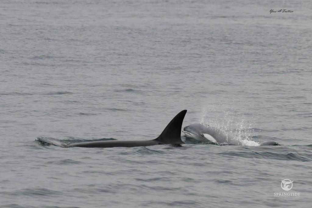 Orque blanche et sa mère