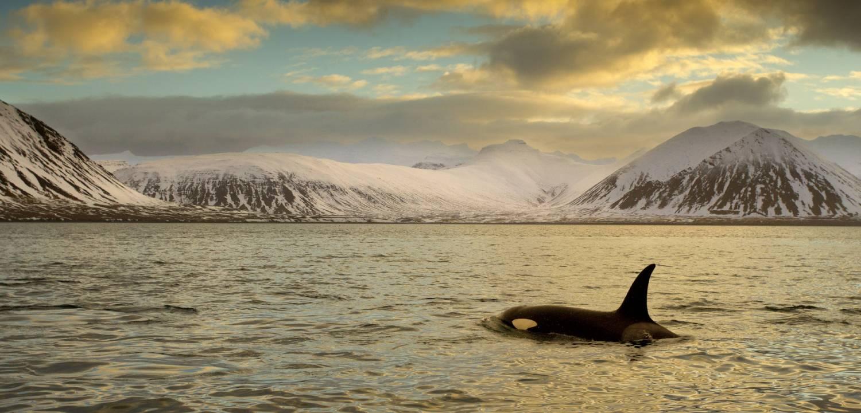 Orque D'Islande