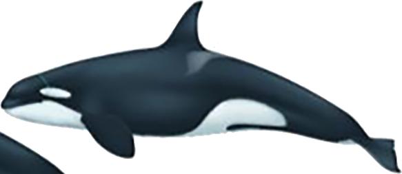 Orque type 2 femelle