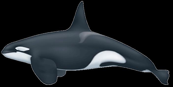 Orque type 2 mâle