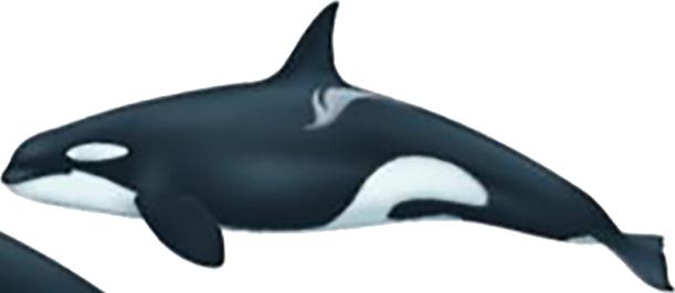 Orque type A Antarctique femelle