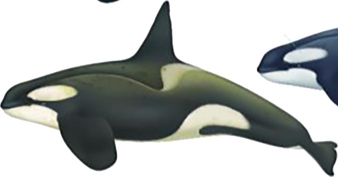 Orque type B (grand) mâle