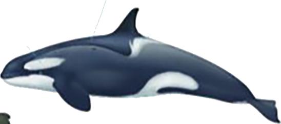 Orque type B (petit) femelle