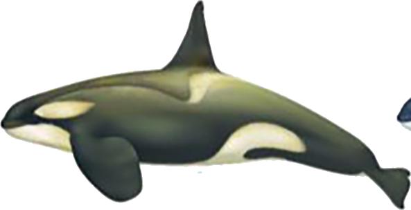 Orque type B (petit) mâle