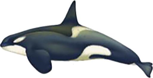 Orque de la mer de Ross type C mâle