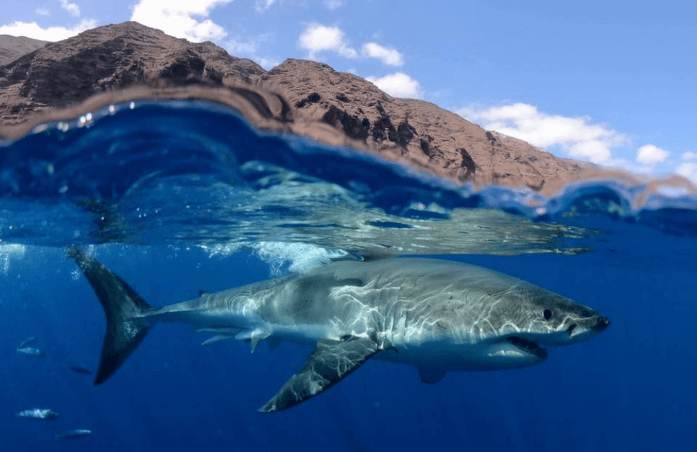 Peau De Requin Blanc Modèle Avion
