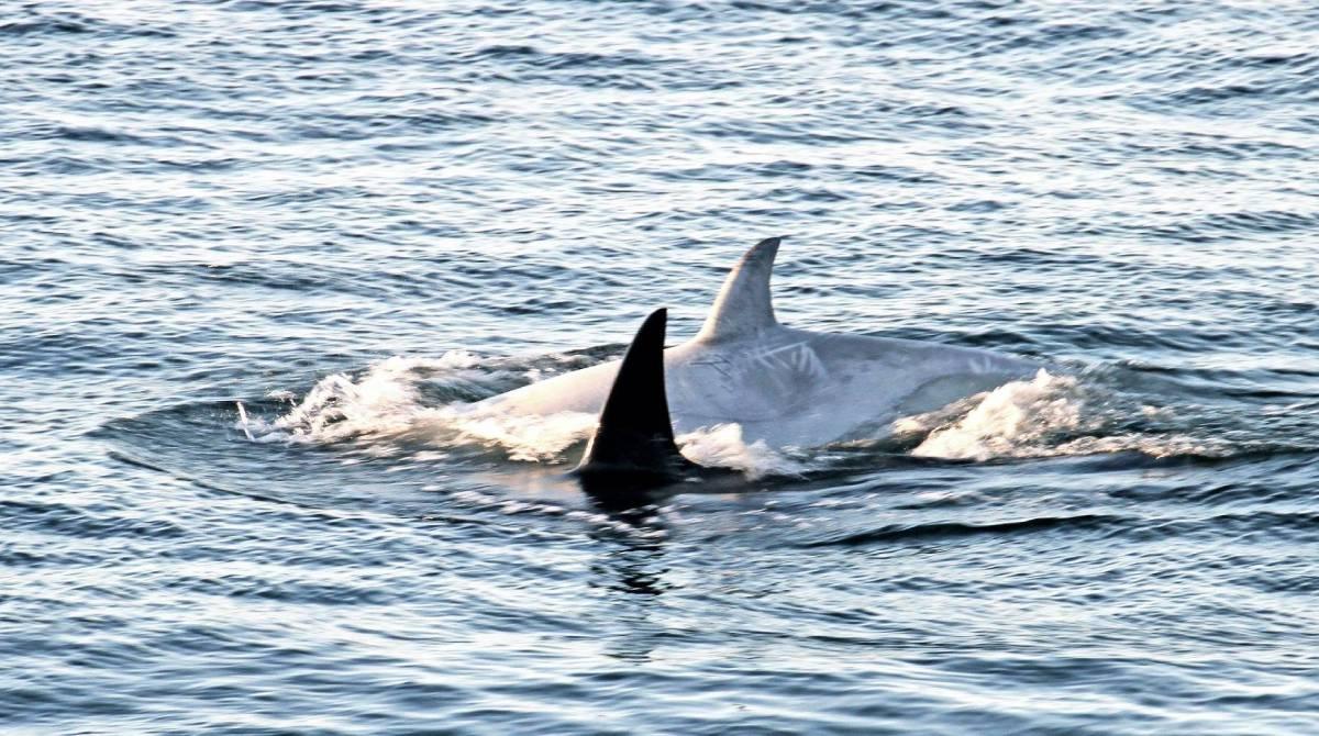 Tl'uk l'orque blanche du pod T046B