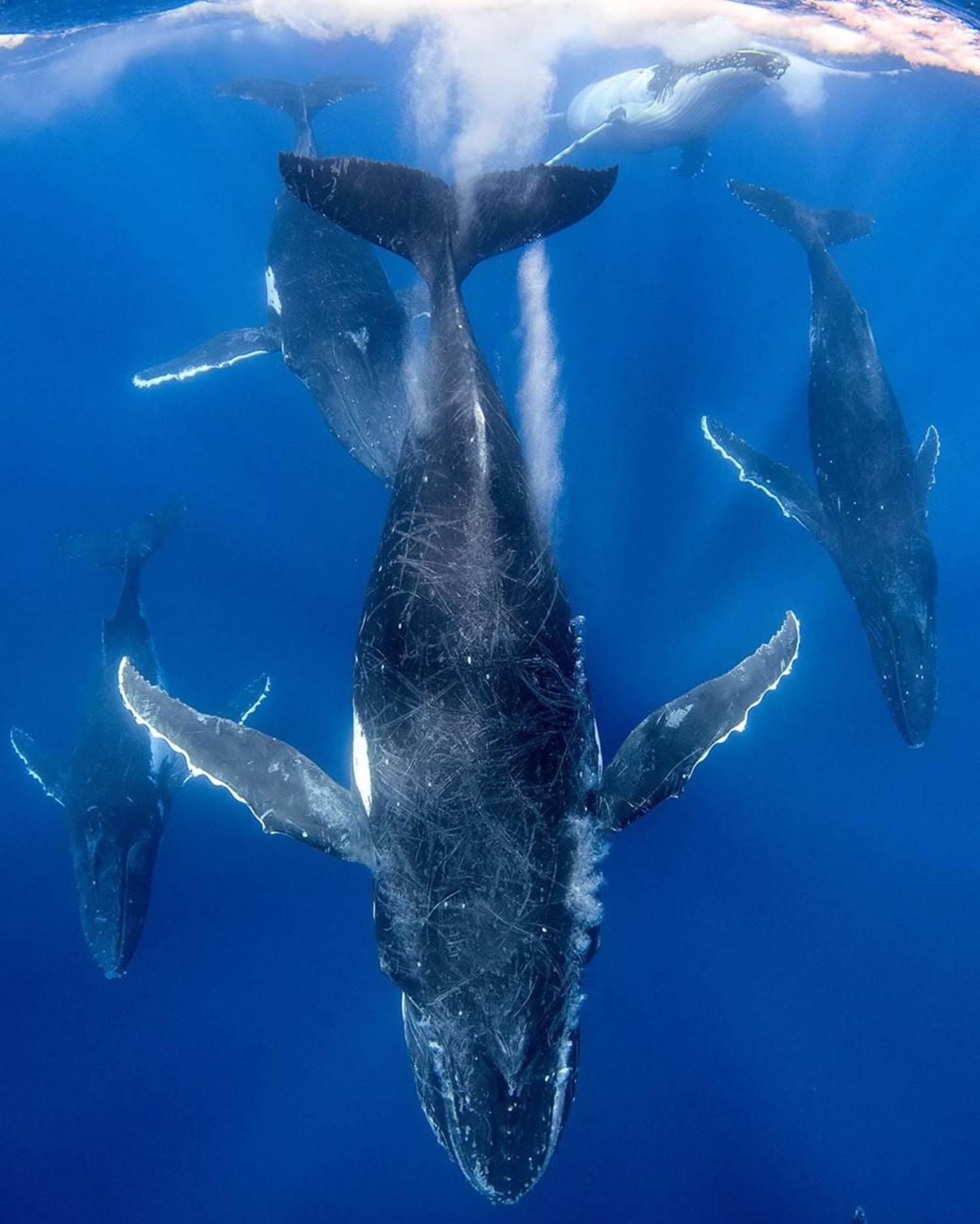 Allaitement baleine à bosse