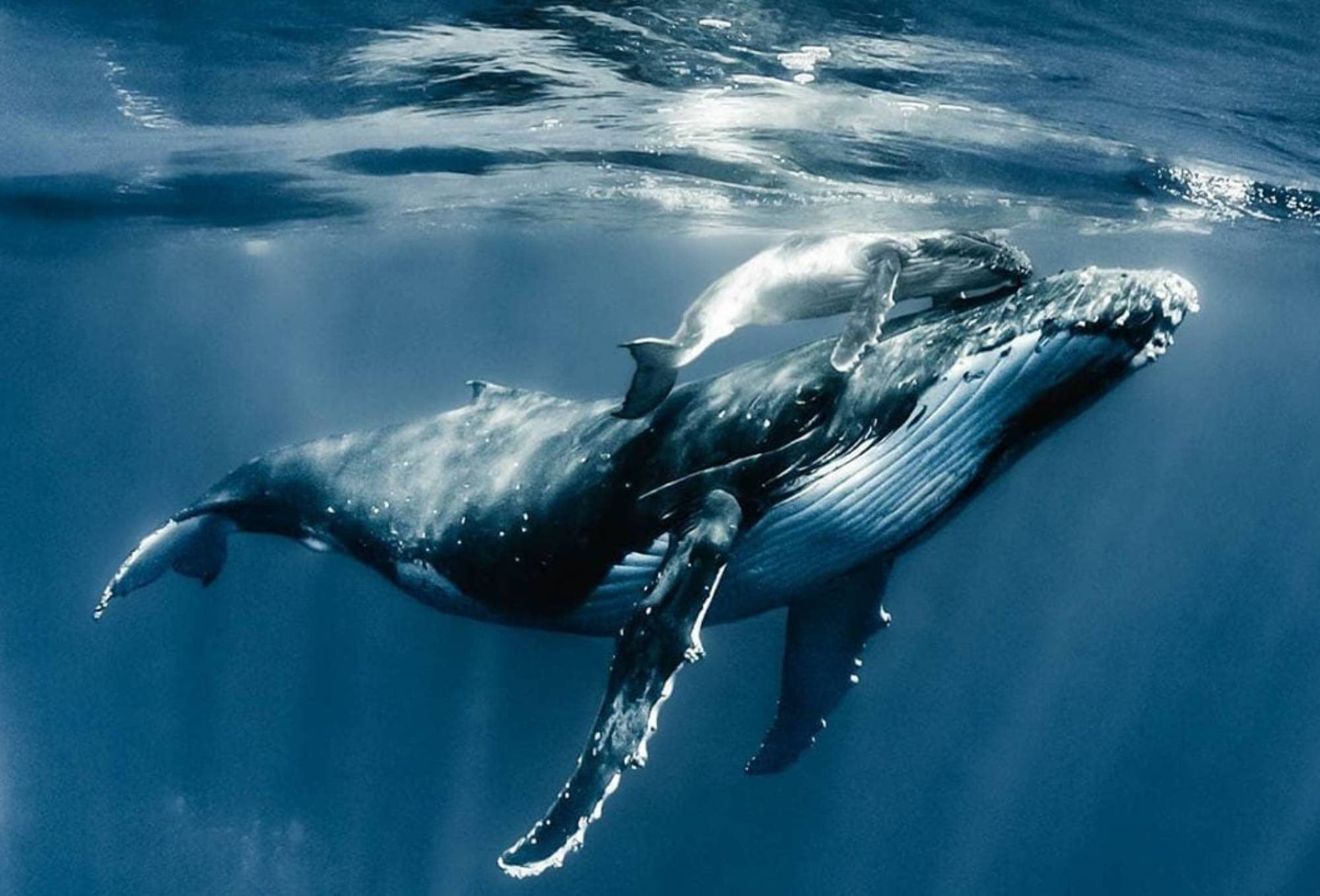 Allaitement Baleine