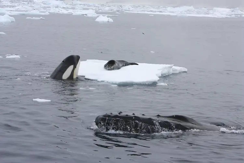 Altruisme Baleine à Bosse