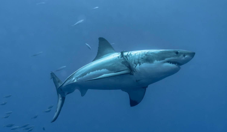 Apprentissage Requin Blanc