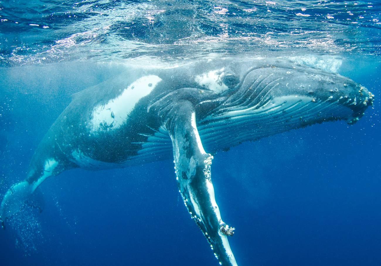 Baleine à bosse à fleur d'eau