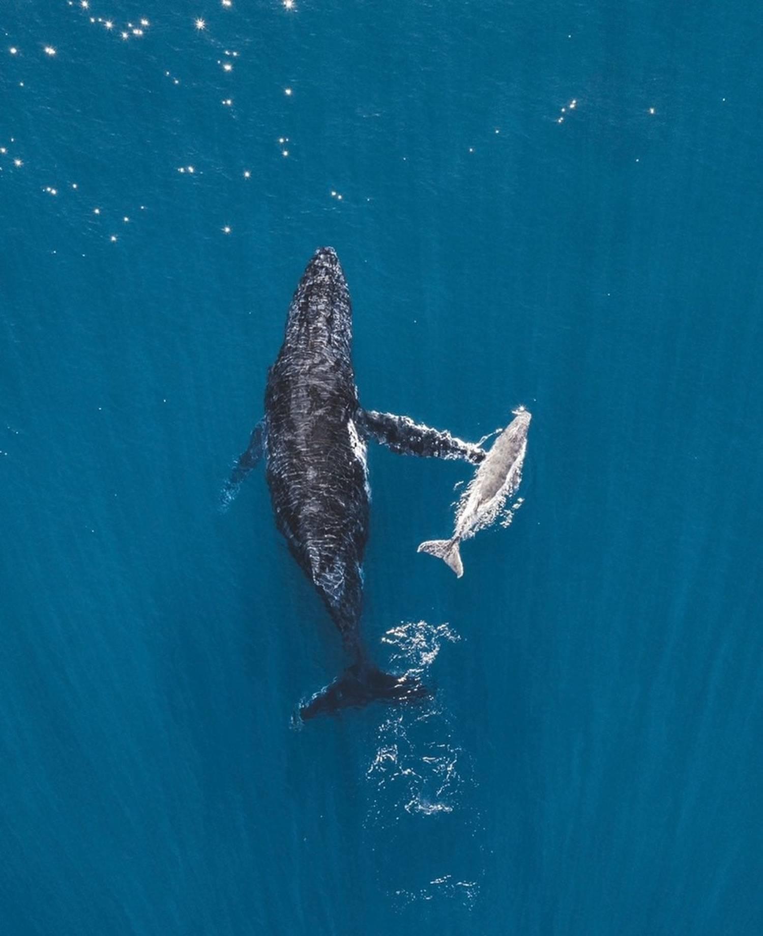 Baleine à bosse vue drone